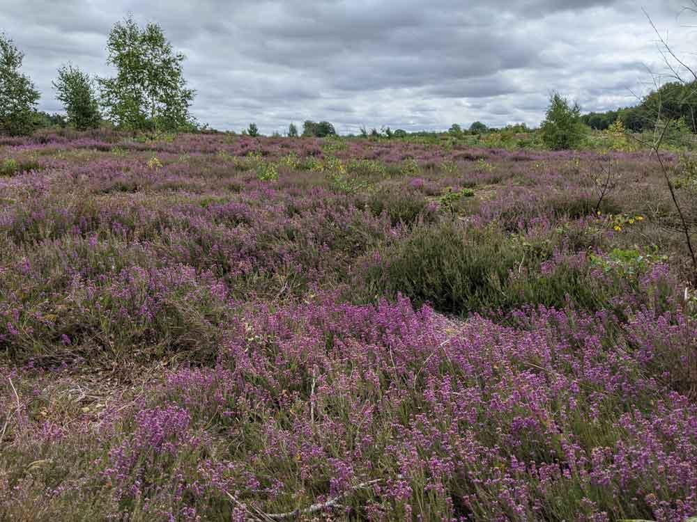 Purple Heather, Marsham Heath, Norfolk, UK