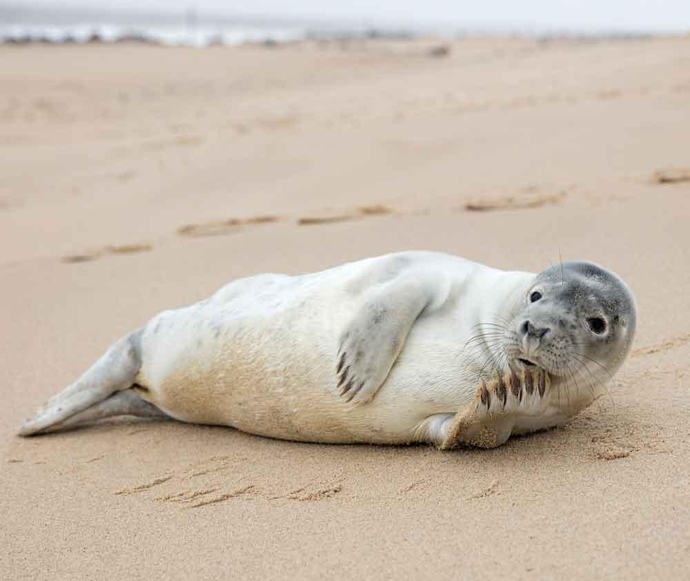 Seal, Norfolk