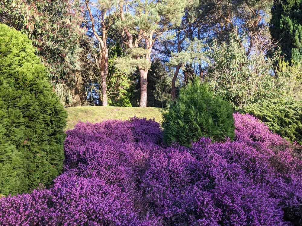 Purple heather, Valley Gardens, Virginia Waters, Surrey, UK