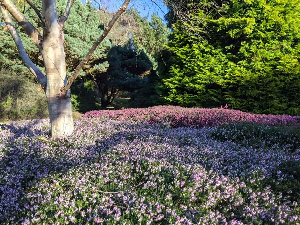 sea of heather, Heather garden, Virginia Water, Surrey, UK
