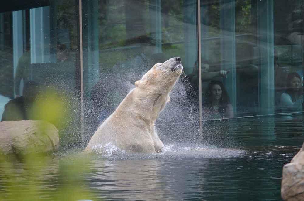 Polar Bear at San Diego Zoo, California, USA