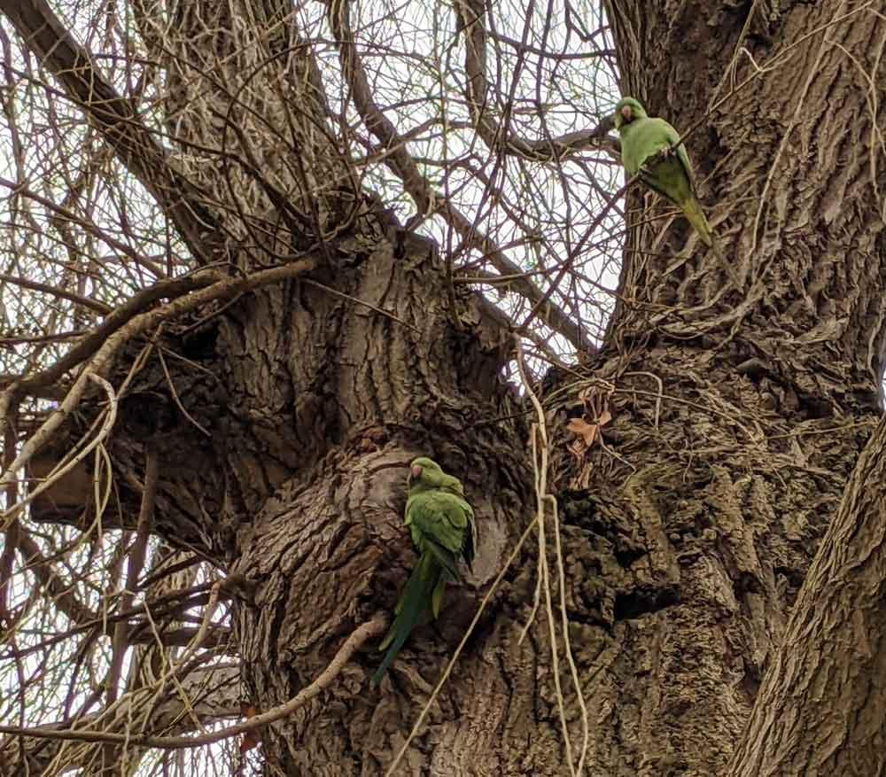 Parakeets in trees at Shepperton, Surrey, UK