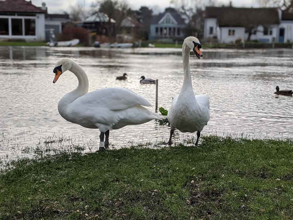Two Swans by River Thames, Shepperton, Surrey, UK