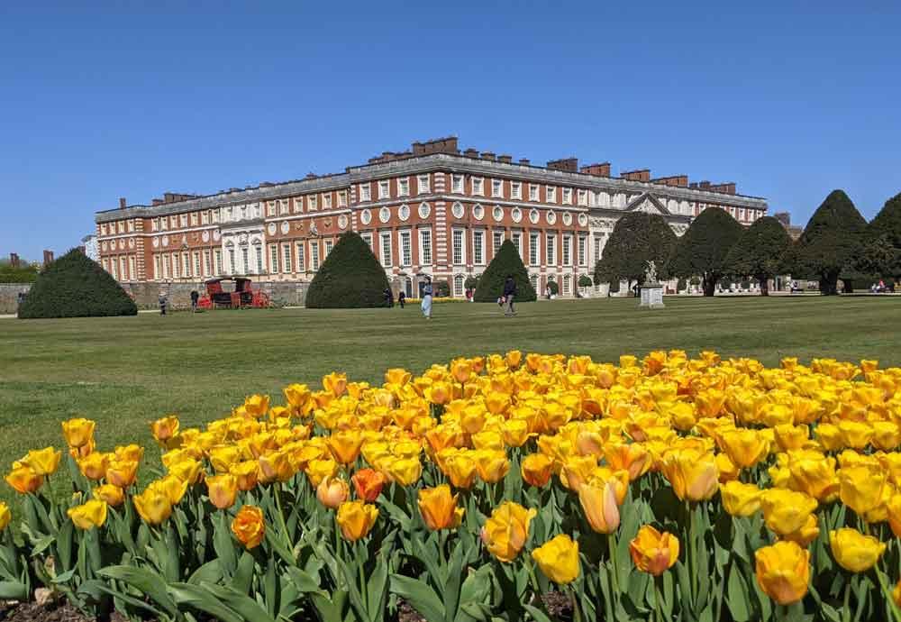 Beautiful yellow Tulips in front of Hampton Court Palace, Surrey, UK