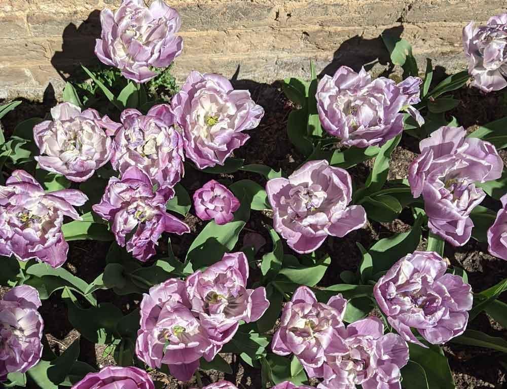 Delicate purple Tulips in the Lower Orangery, Hampton Court Palace, Surrey, UK