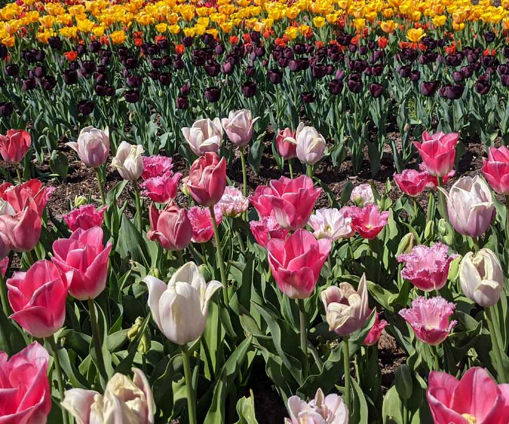 Rows of brightly coloured Tulips in the Kitchen Garden, Hampton Court Palace, Surrey, UK