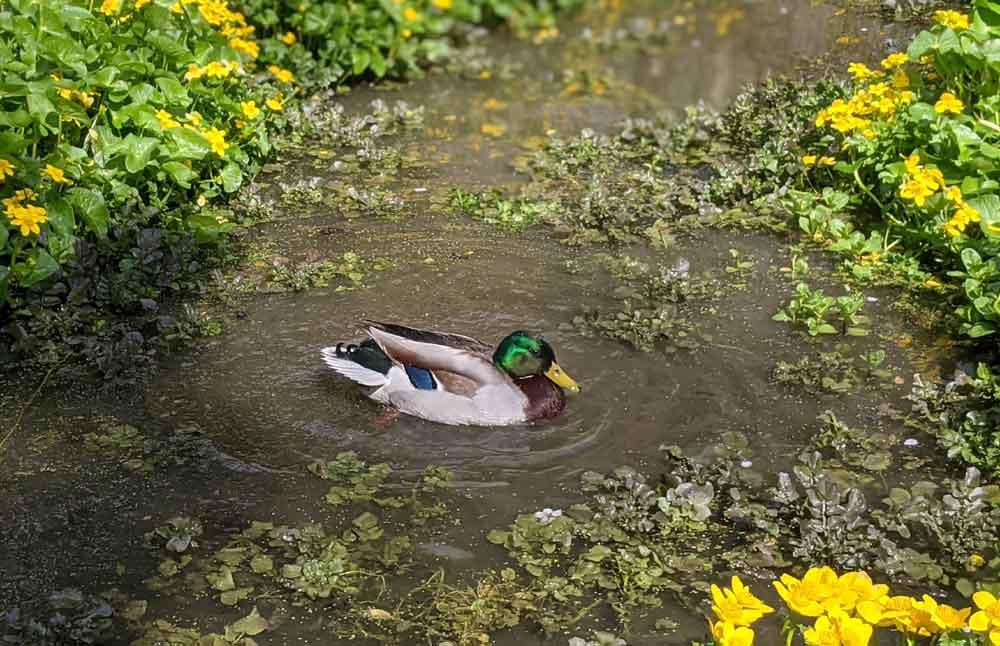 Duck at Batsford Arboretum, Cotswolds, UK