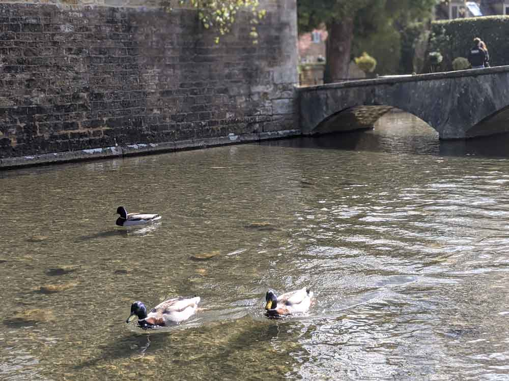 Ducks at Bourton on the Water, Cotswolds, UK