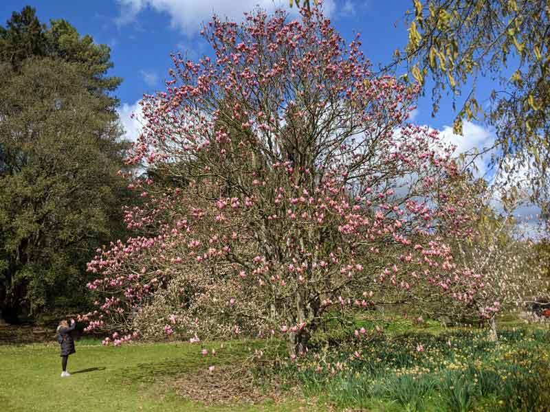 Huge Magnolia Tree, Batsford, Cotswold, UK