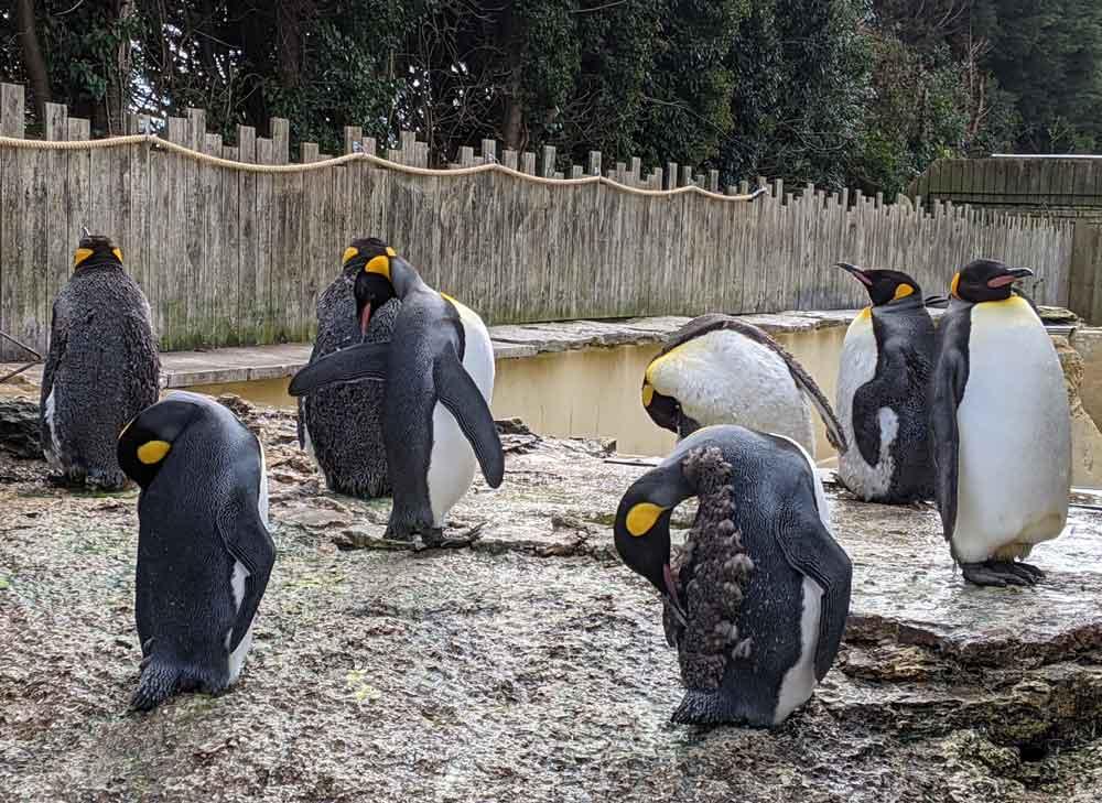 Penguins at Birdland, Bourton on the Water, Cotswolds, UK