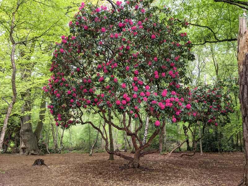 Rhododendrums, Black Park, Buckinghamshire, UK
