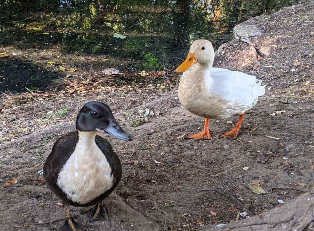 Ducks at Nicholas Everitt Park, Oulton Broads, Norfolk