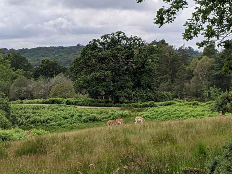 Bolderwood Deer Sanctuary, New Forest, Hampshire, UK