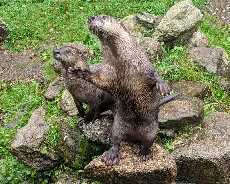 Two otters at Dartmoor Otter Sanctuary