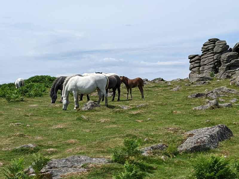 Dartmoor Ponies, Dartmoor, UK