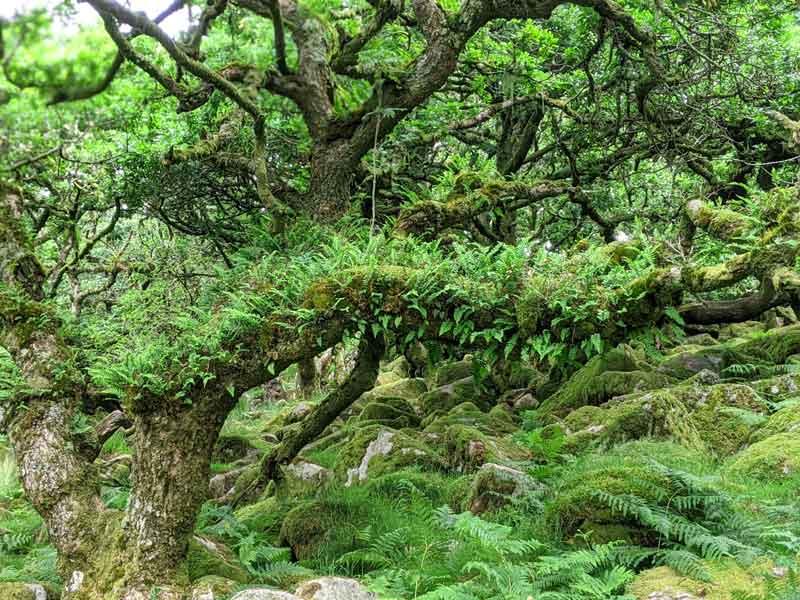 Ferns on trees at Wistmans Wood, Devon, UK