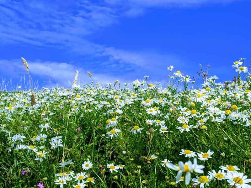 Field of Daisy's at Burgh Island, Devon, UK