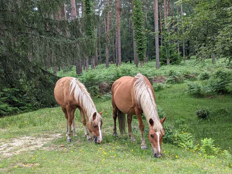 New Forest ponies, Hampshire, UK