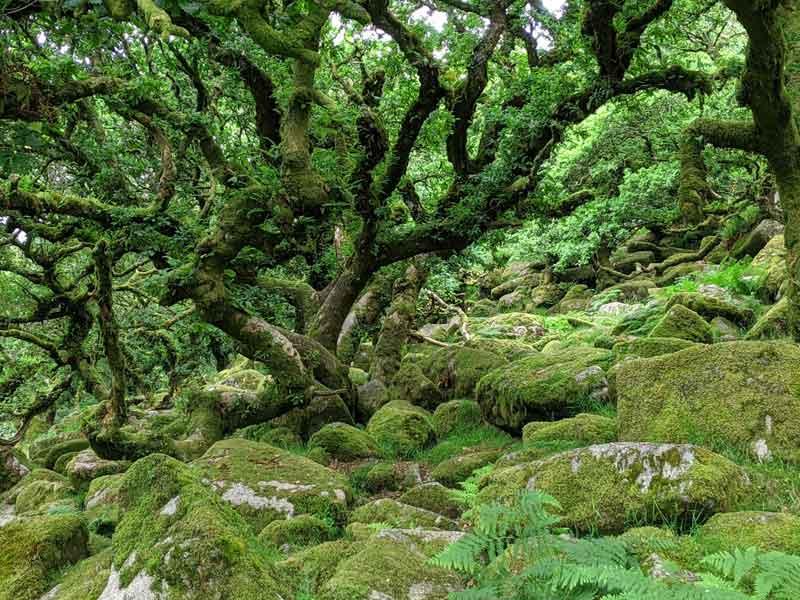 Trees of Wistmans Wood, Devon, UK