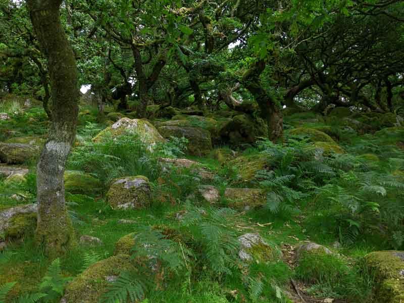 Wistmans Woods Trees, Devon, UK