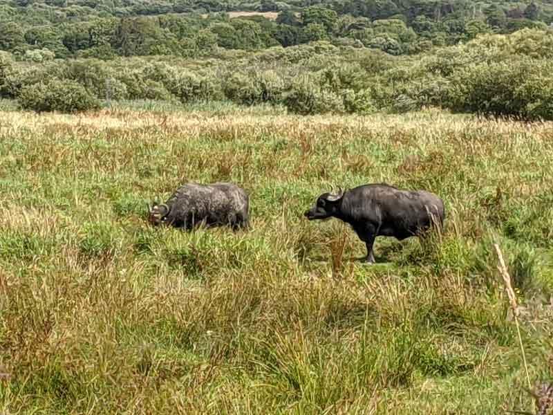 Water Buffalo Welsh Wildlife Centre, Wales