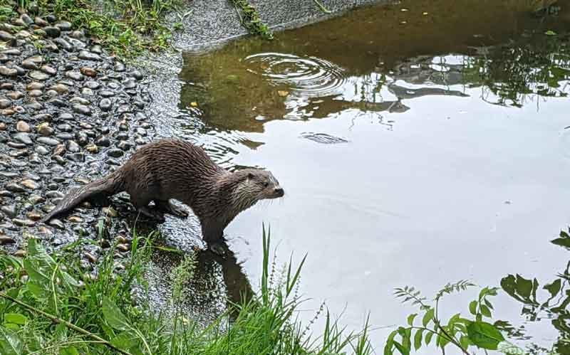 otter entering pool, Dartmoor, UK