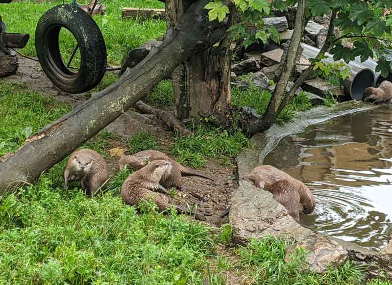 Otters at the Otter and Butterfly Sanctuary, Dartmoor, UK
