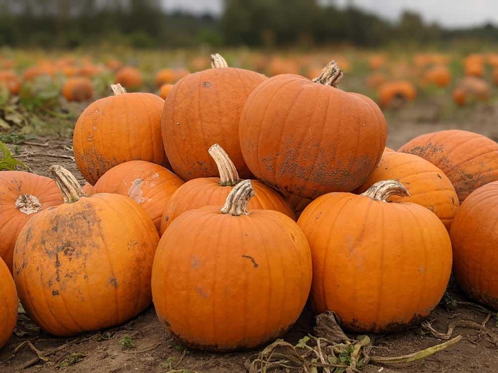Garsons Pumpkin Farm Esher, Surrey, UK
