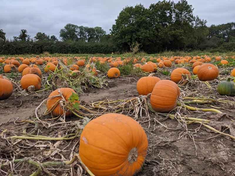 Pumpkin Field Surrey, UK